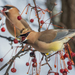 Cedar Waxwing - Photo (c) Kyle Tansley, some rights reserved (CC BY-NC)