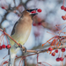 Waxwings - Photo (c) Kyle Tansley, some rights reserved (CC BY-NC)
