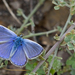 Austaut's Blue - Photo (c) Paul Cools, some rights reserved (CC BY-NC)