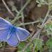 Polyommatus celina - Photo (c) Paul Cools, μερικά δικαιώματα διατηρούνται (CC BY-NC)