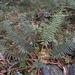 Polystichum parvipinnulum - Photo (c) yimingchen,  זכויות יוצרים חלקיות (CC BY-NC)