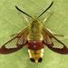 Hemaris fuciformis - Photo (c) Andrey Ponomarev, algunos derechos reservados (CC BY-NC)