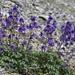 Delphinium caucasicum - Photo (c) ed_shaw, algunos derechos reservados (CC BY-NC)