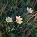 Dryas octopetala punctata - Photo (c) Александр,  זכויות יוצרים חלקיות (CC BY-NC)