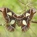 Rothschildia - Photo (c) Tim Guida, alguns direitos reservados (CC BY-NC)