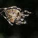 Araneus angulatus - Photo (c) Kutushev Radik,  זכויות יוצרים חלקיות (CC BY-NC)