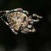 Araneus angulatus - Photo (c) Радик, algunos derechos reservados (CC BY-NC)