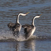 Grebes - Photo (c) Michael, some rights reserved (CC BY-NC)