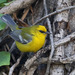 Blue-winged Warbler - Photo (c) guyincognito, some rights reserved (CC BY-NC)