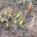 Tetroncium magellanicum - Photo (c) John Brew, algunos derechos reservados (CC BY)