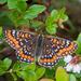 Euphydryas maturna - Photo (c) Tero Laakso, algunos derechos reservados (CC BY-SA)