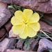 Desert Evening-Primrose - Photo (c) Alex Abair, some rights reserved (CC BY-NC)
