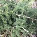 Asparagus acutifolius - Photo (c) elliegilchrist, osa oikeuksista pidätetään (CC BY-NC)