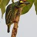 Psilopogon haemacephalus - Photo (c) supergan,  זכויות יוצרים חלקיות (CC BY-NC)