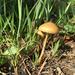 Agrocybe pediades - Photo (c) Gena Bentall, algunos derechos reservados (CC BY-NC)