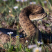 Prairie Rattlesnake - Photo (c) Jason Headley, some rights reserved (CC BY-NC)