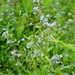 Field Forget-Me-Not - Photo (c) Eduard Garin, some rights reserved (CC BY-NC)