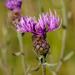 Centaurea stoebe - Photo (c) Kutushev Radik, μερικά δικαιώματα διατηρούνται (CC BY-NC)