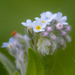 Field Forget-Me-Not - Photo (c) Радик, some rights reserved (CC BY-NC)