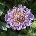 Pincushion Flowers - Photo (c) Roberto Sindaco, some rights reserved (CC BY-NC-SA)