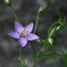 Giliastrum incisum - Photo (c) Josh*m, algunos derechos reservados (CC BY-NC-SA)