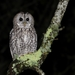 Tawny Owl - Photo (c) naturpel, some rights reserved (CC BY-NC)