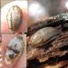 Fasciatus-group Arion Slugs - Photo (c) Mark Nenadov, some rights reserved (CC BY-NC)