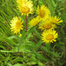 Inula japonica - Photo (c) V.S. Volkotrub,  זכויות יוצרים חלקיות (CC BY-NC)