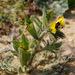 Hyoscyamus pusillus - Photo (c) Ron Frumkin, some rights reserved (CC BY-NC)