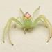 Rapuhämähäkit - Photo (c) Tony Iwane, osa oikeuksista pidätetään (CC BY-NC)
