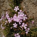 Ourisia microphylla - Photo (c) Nicolás Lavandero, some rights reserved (CC BY-NC)