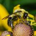 Bombus griseocollis - Photo (c) bob15noble, algunos derechos reservados (CC BY-NC)