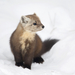 American Marten - Photo (c) Owen Strickland, some rights reserved (CC BY-NC)