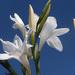 Watsonia borbonica ardernei - Photo (c) Felix Riegel, algunos derechos reservados (CC BY-NC)