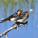 Typical Swallows - Photo (c) David Cook, some rights reserved (CC BY-NC)