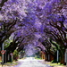 Blue Jacaranda - Photo (c) tjeerd, some rights reserved (CC BY-NC)