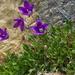 Campanula saxifraga argunensis - Photo (c) ramazan_murtazaliev, algunos derechos reservados (CC BY-NC)