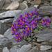 Linaria alpina - Photo (c) Cyril Gros,  זכויות יוצרים חלקיות (CC BY-NC-SA)