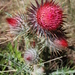 Cirsium ehrenbergii - Photo (c) Luis Alberto, some rights reserved (CC BY-NC)