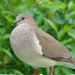 Leptotila Doves - Photo (c) Dick Culbert, some rights reserved (CC BY)