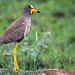 African Wattled Lapwing - Photo (c) Arno Meintjes, some rights reserved (CC BY-NC)