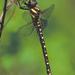 Cordulegaster maculata - Photo (c) Denis Doucet, algunos derechos reservados (CC BY-NC)