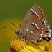 Callophrys gryneus sweadneri - Photo (c) Mary Keim, μερικά δικαιώματα διατηρούνται (CC BY-NC-SA)