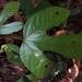 Sterculia recordiana - Photo (c) Marvin López M., algunos derechos reservados (CC BY-NC)