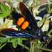 Pygodasis ephippium ephippium - Photo (c) Jonh Arias, algunos derechos reservados (CC BY-NC)