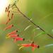 Lobelia laxiflora - Photo (c) Ricardo Arredondo T.,  זכויות יוצרים חלקיות (CC BY-NC)