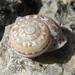 Iberus marmoratus - Photo (c) Susanne Vogel, algunos derechos reservados (CC BY-NC)