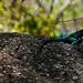 Agama kirkii - Photo (c) Bart  Wursten, alguns direitos reservados (CC BY-NC-SA)