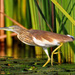 Squacco Heron - Photo (c) Ian White, some rights reserved (CC BY-ND)