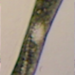 Euglena ehrenbergii - Photo (c) shannonbretta, some rights reserved (CC BY-NC)